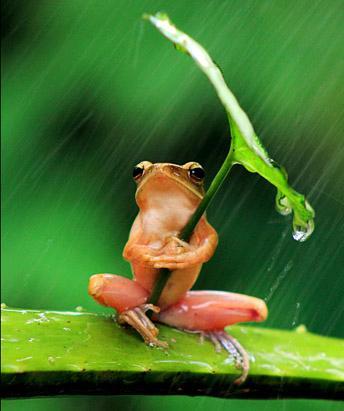 Levelibéka az esőben